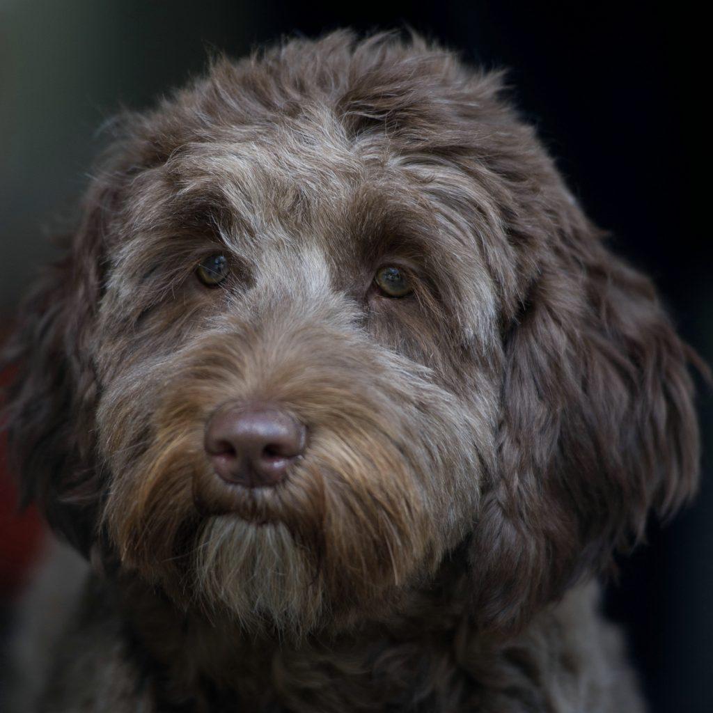 Hannah Orange Aussie Dogs Australian-Labradoodle