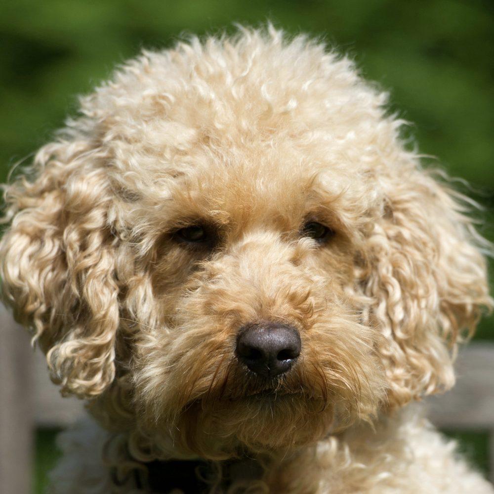 Sofie Orange Aussie Dogs